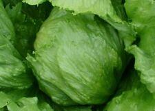 ICEBERG LETTUCE SEEDS 500+ HEAD lettuce VEGETABLE garden SALAD FREE SHIPPING