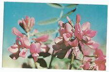 Alaska Wild Sweet Pea Hedysarum Vintage Postcard