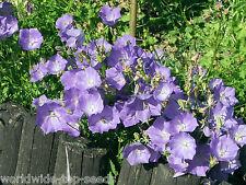 Carpates cloches FLEUR BLEUE CLIPS-Campanula Carpatica