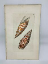 Papal Volute Shells - 1783 RARE SHAW & NODDER Hand Colored Copper Engraving