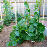 Spinach Seeds Organic Heirloom Vegetable Seeds Spinach Seeds Non-GMO Plant Fresh