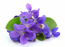 Violet Oil 10ml / For Soaps, Candles and Perfumes