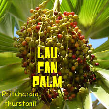 500 Seeds ~Dwarf FIJI FAN Palm~ Pritchardia thurstonii Rare ~LAU FAN PALM SEED~