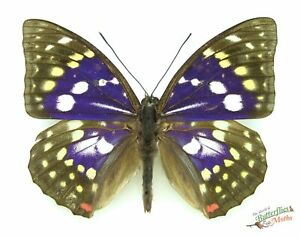 Sasakia chronda Japanese emperor Butterfly SET x1 Male A1- Real Insect Specimen.