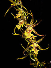 "Bracidostele Gilded Tower 'Mystic Maze', Near Blooming size Orchid Plant, 3"" Pot"