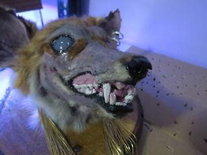 Weird Taxidermy Fox Head Mount Chupacabra Squirrel Coyote Raccoon
