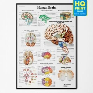 Anatomy Of The Brain Educational Notes Anatomical Human Body Poster A4 A3 A2 A1