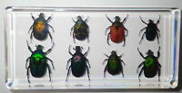 8 Rose Chafer Beetle Collection Set Clear Block Education Insect Specimen Kit
