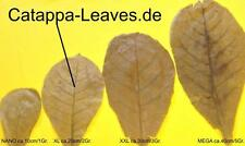 >50 Seemandelbaumblätter ca.20 cm - Catappa-Leaves - Sonderaktion