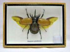 EUPATORUS GRACILICORNIS (M)  - Echtes exotisches Insekt  im Schaukasten Holz