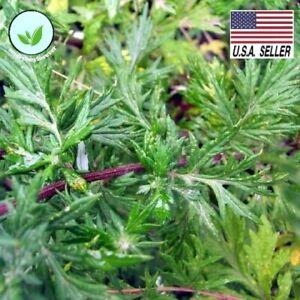 Mugwort - 1,000 Seeds - (Artemisia Vulgaris)-  Heirloom Herb Garden Seeds USA !