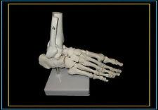 @Professional Full Size Human Foot Skeleton Model@High Quality@UK Seller@