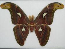 Atlasspinner - Attacus Atlas Moth (M)  - riesiger Schmetterling im Schaukasten