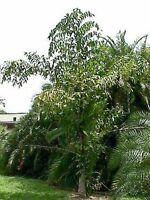 10 graines palmier Caryota Maxima Himalaya hardy palm seeds