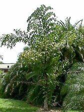 15 graines palmier Caryota Maxima Himalaya hardy palm seeds