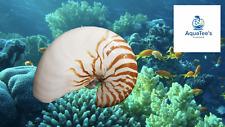 "8"" XXL Large Chambered Natural Nautilus Sea shell collector decor Aquarium Fish"