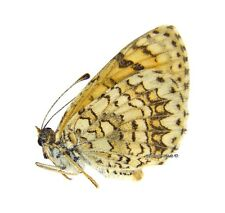 Unmounted Butterfly/Nymphalidae - Melitaea casta salki, FEMALE, VERY RARE, Iran