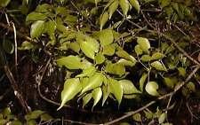 Huile essentielle Amyris - Santal d'Haiti  pure et naturelle 100 ml