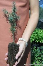 CEDRUS ATLANTICA alveolo 1 Pianta 1 Plant  Cedro atlantica conifera