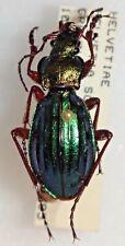 Carabidae Carabus Chrysocarabus auronitens helvetiae Helvetia #W99 Beetle