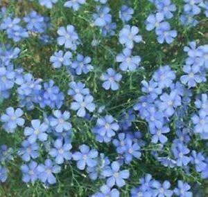 F0606 PERENNIAL FLAX x50 seeds Linum Perenne BLUE FLOWERS FILLER GARDEN PLANT