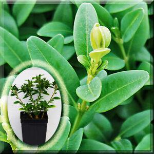 2 Boxwood - Green Mountain Greenmountain Boxwood 2.5 Pot Live Plant