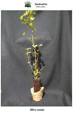 Planta de Alnus glutinosa - Aliso común - 2 Años - Plantón forestal