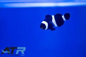 Black Oscellaris Clownfish, Designer Clownfish, All Males, Saltwater, ATR