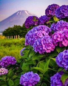 5 Dark Purple Hydrangea Seeds Perennial Hardy Garden Shrub Bloom Flower 386