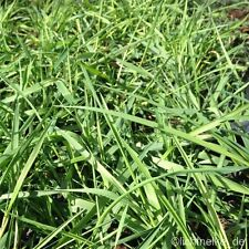 Hängender Bambus (Bamboo 'Green Twist') Hänge-Bambus