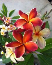 10 Rare Dark Orange Plumeria Seeds Plants Flower Lei Hawaiian Fragrant Garden