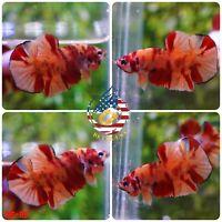 BS115 -Live Betta Fish High Quality Halfmoon Plakat HMPK Nemo Galaxy Koi