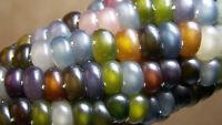 Original Rare 15 Seeds Organic Glass Gem Corn maize popcorn multicolour Cherokee