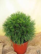 Zwergkiefer Pinus mugo Varella 15-20cm Naturkugel Zwergsorte