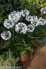 3 New Agapanthus Twister  bicolour flower hardy  garden perennial plants ex 2L
