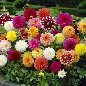 5 Dahlia Decorative Mix Flowers Perennials Tubers Colours Summer Beautiful