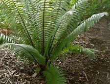 Dryopteris wallichiana hardy garden fern 9cm pot FREE DELIVERY
