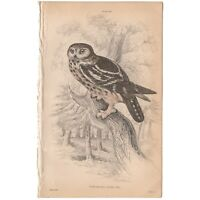 Jardine/Lizars antique hand-colored engraving bird print 29 Tengmalm's Night Owl