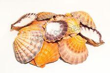 "Orange Lion Paw Scallop Nautical Dish Beach Craft Sea Shell 41/2- 51/2""(18 pcs)"