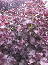 Vegetable Perilla Red Shiso Japanese Basil Min 1000 seeds Oriental
