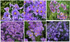 Purple Aster Peter III Hybrid  Over  100 SEEDS *RARE FLOWER * VERY PRETTY