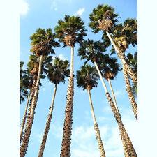 WASHINTONIA ROBUSTA mexican fan palm tree ornamental palms plant seed 100  seeds