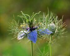 Schwarzkümmel Samen, Saatgut Nigella sativa