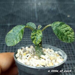 Dorstenia foetida VARIEGATA Rare !!!  / rare cactus succulent caudex plant