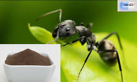 DR T&T WILD Polyrhachis Ant Mountain Ant Vicina Roger Polyrhachis extract 1:20