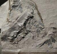 RARE Big plate with coal age land giant arthropod tail segment and fern