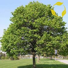 NORWAY MAPLE Acer Platanoides - 20+ SEEDS