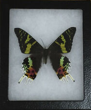 Madagascar Sunset Moth  Real Butterfly in Riker Mount