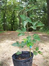 Ouachita Thornless Blackberry Plant Nutritious Health Plants Sweet Blackberries