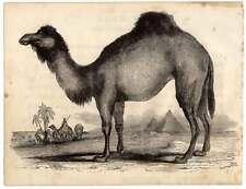 Dromedar-Camel-Kamel-Tiere Holzschnitt 1840